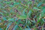 Non-native Microstegium vimineum populations collapse with fungal leaf spot disease outbreak