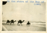 Israel; Bay of Acre; 1926; Camels; Photograph by Harry W. Rockwell