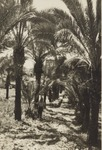 Alley of Palms, Latrun Trappist Monastery