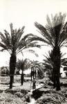 Palm Grove Leading to Latrun